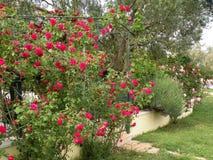 Ein blühender Garten mit Rosen stockfoto