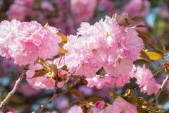 Ein blühender Kwanzan-Kirschbaum im Frühjahr mit Blüten stockbild