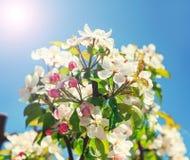 Ein blühender Zweig des Apfelbaums Lizenzfreie Stockfotos
