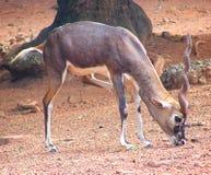 Ein Blackbbuck - indische Antilope Lizenzfreie Stockfotografie