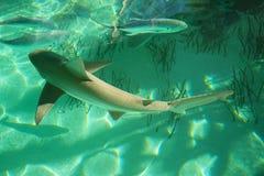 Ein blacknose Haifisch Stockfotos