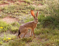 Ein Blacktail Hase Stockfoto