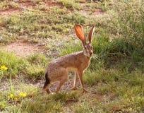Ein Blacktail Hase stockfoto