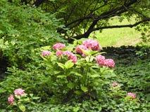 Ein blasses - rosa Hortensie Stockbild