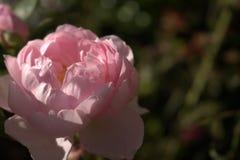 Ein blasses - Rosarose Stockfotos