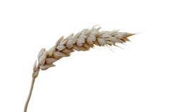 Ein Blatt des Weizens stockfotografie