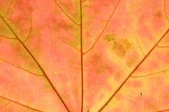 Ein Blatt eines Baums im Herbst im Makro auf einem Oberlicht Stockbild