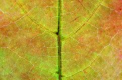Ein Blatt eines Baums im Herbst im Makro auf einem Oberlicht Lizenzfreies Stockfoto