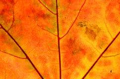 Ein Blatt eines Baums im Herbst im Makro auf einem Oberlicht Stockfoto