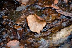 Ein Blatt eines braunen Schattens, der von einem Baum gefallen wird, liegt im Wasser, das, unter Einfluss des Frosts, anfing einz Lizenzfreies Stockbild