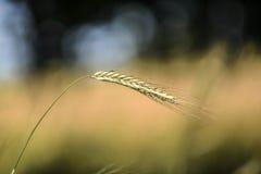 Ein Blatt Getreide auf Feld Lizenzfreie Stockfotografie