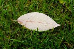Ein Blatt mit Regentropfen liegt im grünen Gras Stockbild