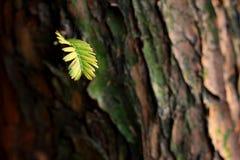 Ein Blatt von Metasequoiabäumen Stockfotografie