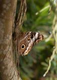 Ein Blau Morpho-Schmetterling wird auf einem Baumstamm mit ihm geschlossene ` s Flügel gehockt stockfotografie