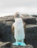 Ein blauer füßiger Dummkopf auf Felsen genommen auf Floreana-Insel, Galapagos lizenzfreie stockbilder