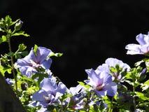 Ein blauer Hibiscus Stockbild