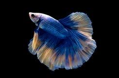 Ein blauer kämpfender Fisch Stockfotos