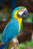 Ein blauer Papagei stockfoto