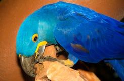 Ein blauer Papagei Stockbilder