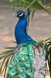 Ein blauer Pfau Lizenzfreies Stockfoto