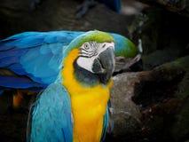 Ein blauer und gelber Macaw Lizenzfreies Stockbild