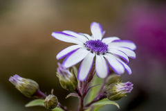 Ein blaues Porträt der wilden Blume im Dschungel Stockfotos