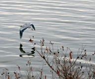 Ein blaues Reiherkranfliegen stockbild