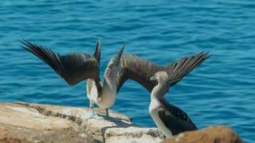 Ein Blaufu?t?lpel, der seine F??e auf isla nth seymour im Galalagos anhebt stockfotografie
