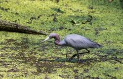 Ein Blaureiher Korkenzieher-Sumpf Lizenzfreie Stockfotos