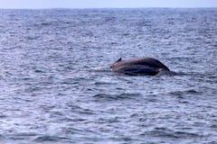Ein Blauwal oder ein Balaenoptera Musculus im Wasser stockfotografie