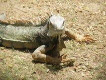 Ein blendend gemeiner Leguan auf Aruba-` s wilder Seite Lizenzfreie Stockbilder
