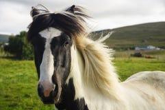 Ein Blickkontakt mit einem isländischen Pferd Stockbild