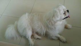 Ein blinder Hundeblick mögen im Haus sehen Lizenzfreies Stockfoto