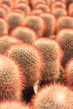 Ein Block der roten stacheligen Birnen Lizenzfreies Stockfoto