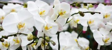 Ein Block der weißen Orchideen Stockfoto