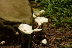 Ein Block der weißen Pilze Lizenzfreies Stockbild