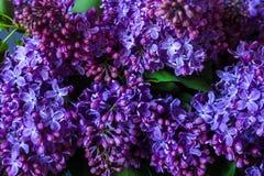 Ein Blumenstrauß der Flieder auf einem dunklen Hintergrund Lizenzfreies Stockfoto