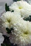 Ein Blumenstrauß von drei weißen Chrysanthemen Hintergrund Stockfotos