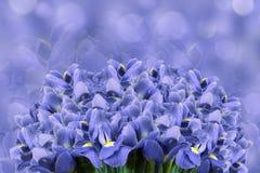 Ein Blumenstrauß von Frühlingsblumen der blauen Iris auf einem hellblauen bokeh Hintergrund Tulpen und Winde auf einem weißen Hin Stockfotos