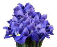 Ein Blumenstrauß von Frühlingsblumen der blauen Iris auf einem Weiß lokalisierte Hintergrund Nahaufnahme Stockfotos