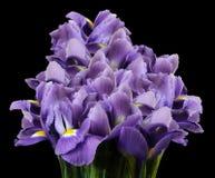 Ein Blumenstrauß von Frühlingsblumen der purpurroten Iris auf dem Schwarzen lokalisierte Hintergrund Nahaufnahme Stockfoto