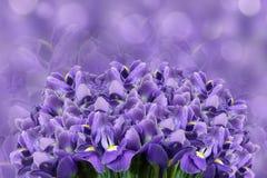 Ein Blumenstrauß von Frühlingsblumen der violetten Iris auf einem hellpurpurnen bokeh Hintergrund Tulpen und Winde auf einem weiß Stockfoto
