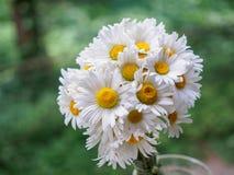 Ein Blumenstrauß von weißen Feldgänseblümchen auf einem Grün verwischte Hintergrund Blumen mit den weißen Blumenblättern und gelb Stockbild