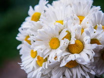Ein Blumenstrauß von weißen Feldgänseblümchen auf einem Grün verwischte Hintergrund Blumen mit den weißen Blumenblättern und gelb Lizenzfreie Stockfotos