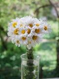 Ein Blumenstrauß von weißen Feldgänseblümchen auf einem Grün verwischte Hintergrund Blumen mit den weißen Blumenblättern und gelb Stockfoto