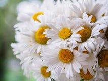 Ein Blumenstrauß von weißen Feldgänseblümchen auf einem Grün verwischte Hintergrund Blumen mit den weißen Blumenblättern und gelb Lizenzfreie Stockbilder
