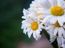 Ein Blumenstrauß von weißen Feldgänseblümchen auf einem Grün verwischte Hintergrund Blumen mit den weißen Blumenblättern und gelb Stockbilder