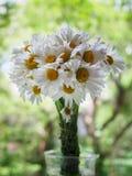 Ein Blumenstrauß von weißen Feldgänseblümchen auf einem Grün verwischte Hintergrund Blumen mit den weißen Blumenblättern und gelb Stockfotos