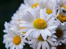 Ein Blumenstrauß von weißen Feldgänseblümchen auf einem Grün verwischte Hintergrund Blumen mit den weißen Blumenblättern und gelb Lizenzfreies Stockbild