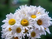 Ein Blumenstrauß von weißen Feldgänseblümchen auf einem Grün verwischte Hintergrund Blumen mit den weißen Blumenblättern und gelb Lizenzfreie Stockfotografie